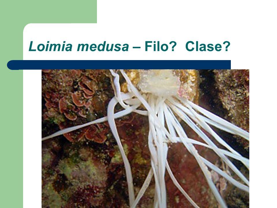 Loimia medusa – Filo? Clase?