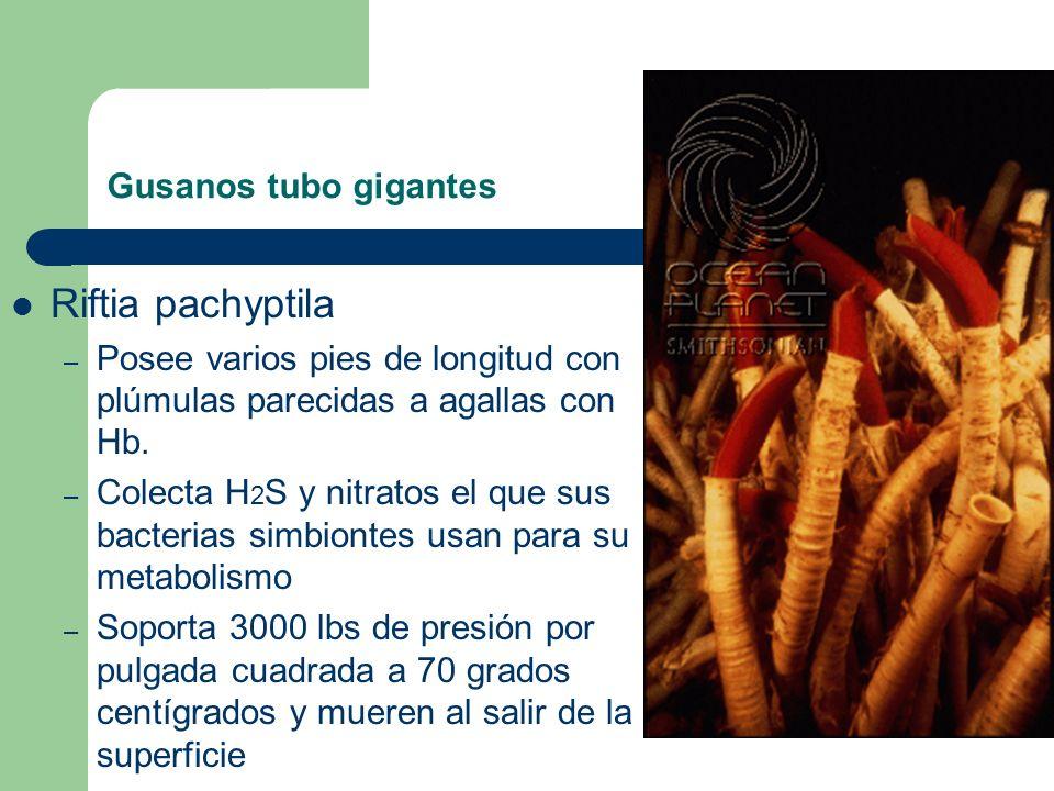 Gusanos tubo gigantes Riftia pachyptila – Posee varios pies de longitud con plúmulas parecidas a agallas con Hb. – Colecta H 2 S y nitratos el que sus