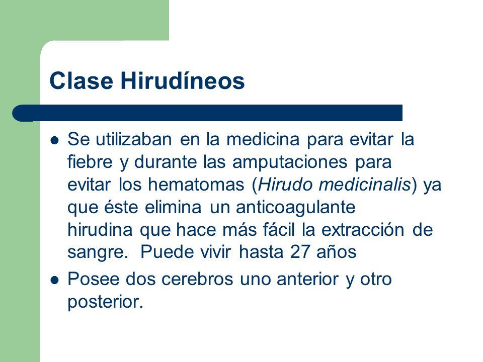 Clase Hirudíneos Se utilizaban en la medicina para evitar la fiebre y durante las amputaciones para evitar los hematomas (Hirudo medicinalis) ya que é