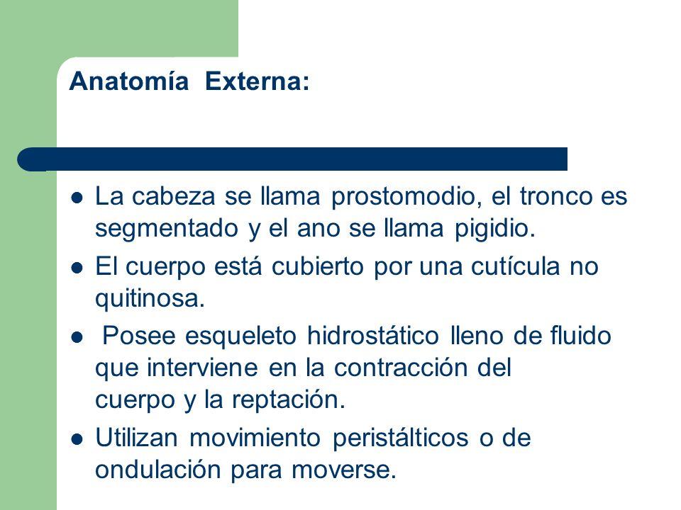 Anatomía Externa: La cabeza se llama prostomodio, el tronco es segmentado y el ano se llama pigidio. El cuerpo está cubierto por una cutícula no quiti
