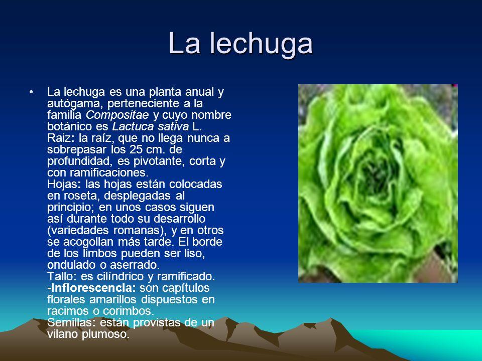 La lechuga La lechuga es una planta anual y autógama, perteneciente a la familia Compositae y cuyo nombre botánico es Lactuca sativa L. Raiz: la raíz,