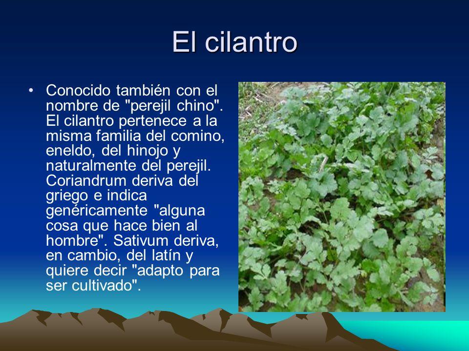 El cilantro Conocido también con el nombre de