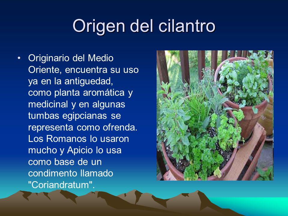 Origen del cilantro Originario del Medio Oriente, encuentra su uso ya en la antiguedad, como planta aromática y medicinal y en algunas tumbas egipcian