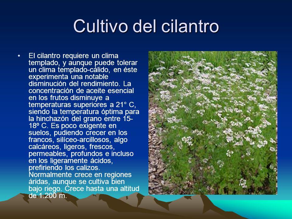 Cultivo del cilantro El cilantro requiere un clima templado, y aunque puede tolerar un clima templado-cálido, en éste experimenta una notable disminuc
