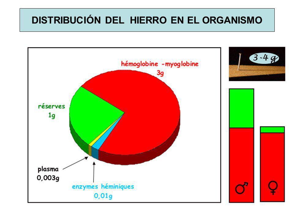 DISTRIBUCIÓN DEL HIERRO EN EL ORGANISMO 3-4 g