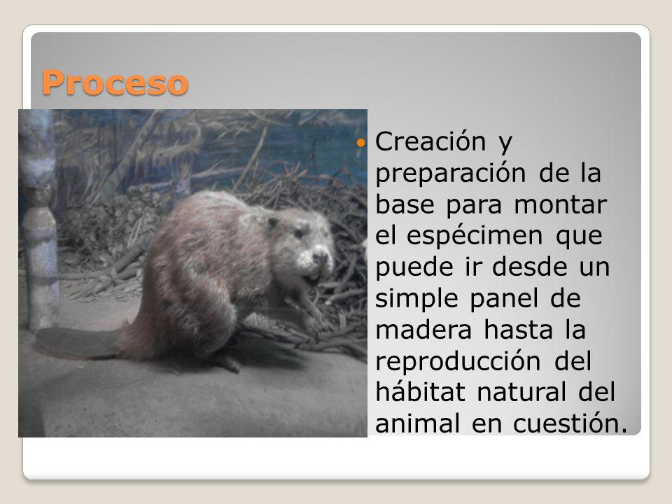 Proceso Creación y preparación de la base para montar el espécimen que puede ir desde un simple panel de madera hasta la reproducción del hábitat natu