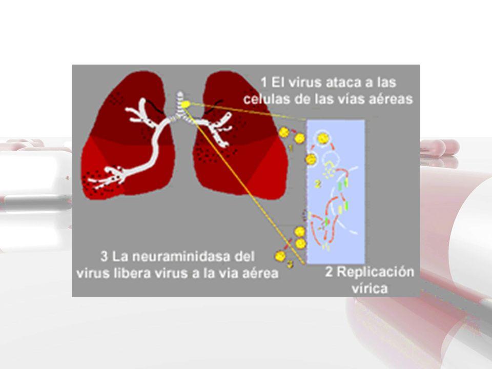 VIAS DE TRANSMISION La fuente de la gripe en las infecciones humanas es fundamentalmente el hombre; sin embargo los virus gripales infectan frecuentemente a animales como aves (gripe aviar), caballos ó cerdos que pueden ser fuente de nuevos subtipos para el hombre.
