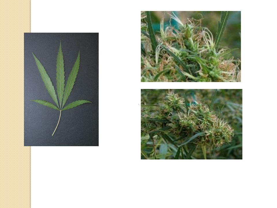 .. Guzman M. Cannabinoids: potential anticancer agents. Nat Rev Cancer. 2003 ;3:745-55