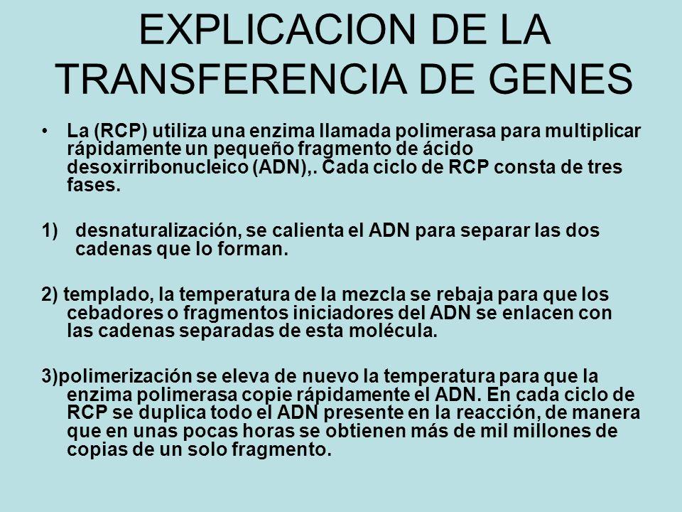 EXPLICACION DE LA TRANSFERENCIA DE GENES La (RCP) utiliza una enzima llamada polimerasa para multiplicar rápidamente un pequeño fragmento de ácido desoxirribonucleico (ADN),.
