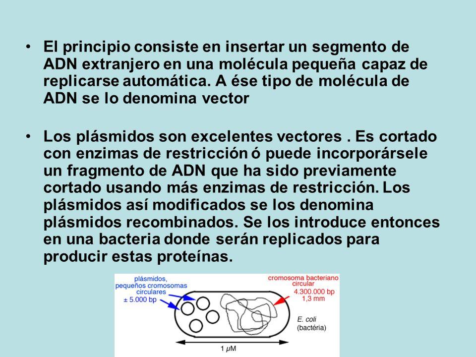 El principio consiste en insertar un segmento de ADN extranjero en una molécula pequeña capaz de replicarse automática.