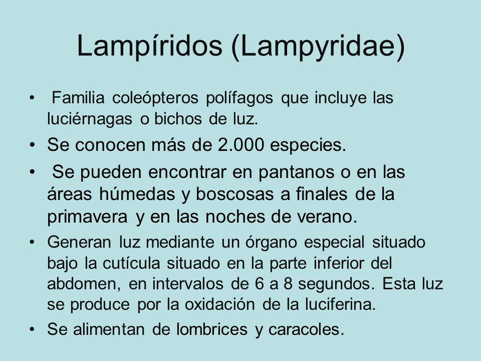 Lampíridos (Lampyridae) Familia coleópteros polífagos que incluye las luciérnagas o bichos de luz.