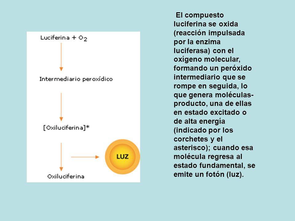 El compuesto luciferina se oxida (reacción impulsada por la enzima luciferasa) con el oxígeno molecular, formando un peróxido intermediario que se rompe en seguida, lo que genera moléculas- producto, una de ellas en estado excitado o de alta energía (indicado por los corchetes y el asterisco); cuando esa molécula regresa al estado fundamental, se emite un fotón (luz).