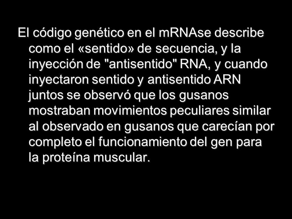 El código genético en el mRNAse describe como el «sentido» de secuencia, y la inyección de
