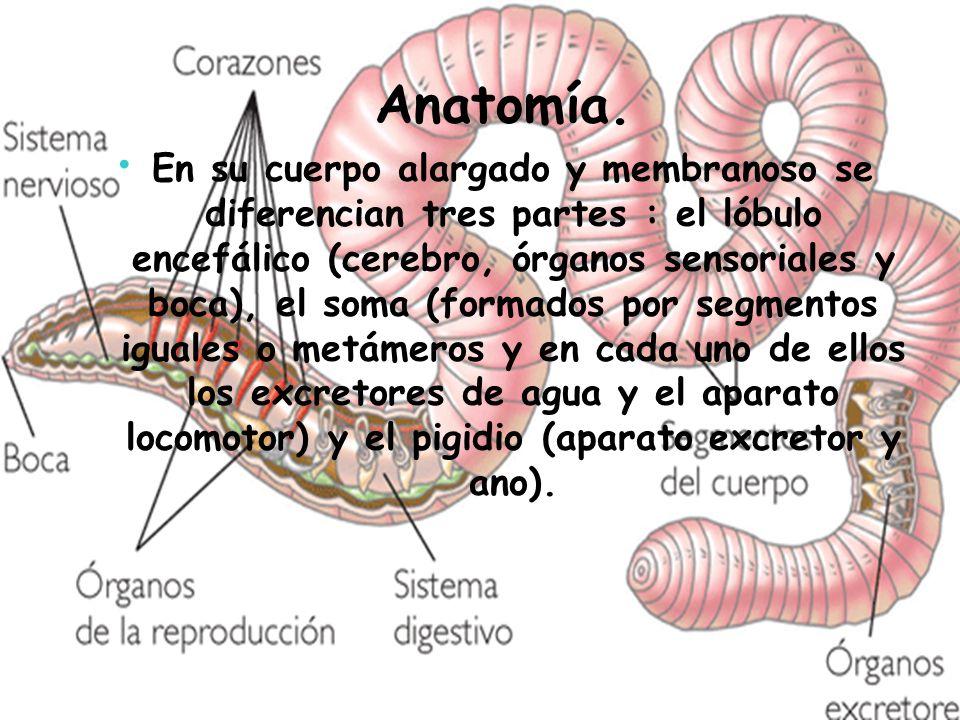 Anatomía. En su cuerpo alargado y membranoso se diferencian tres partes : el lóbulo encefálico (cerebro, órganos sensoriales y boca), el soma (formado