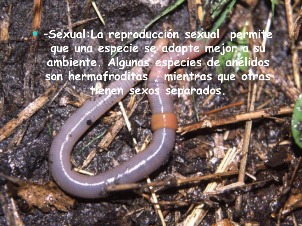 - Sexual:La reproducción sexual permite que una especie se adapte mejor a su ambiente. Algunas especies de anélidos son hermafroditas, mientras que ot