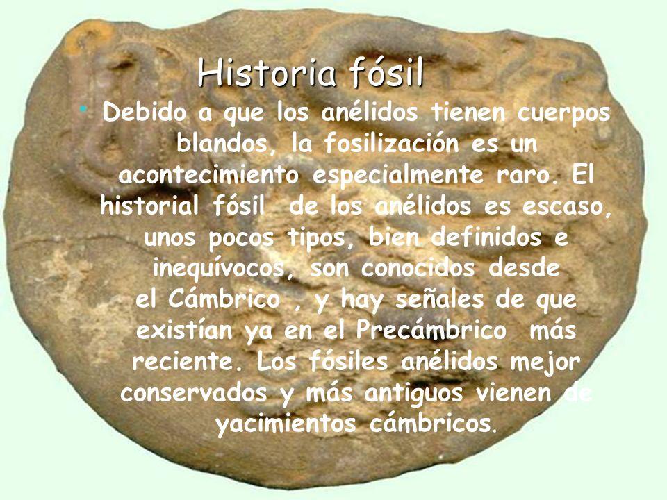 Historia fósil Historia fósil Debido a que los anélidos tienen cuerpos blandos, la fosilización es un acontecimiento especialmente raro. El historial
