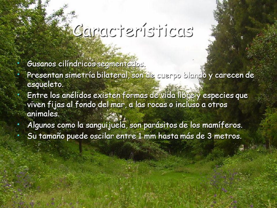 Características Características Gusanos cilíndricos segmentados. Gusanos cilíndricos segmentados. Presentan simetría bilateral, son de cuerpo blando y