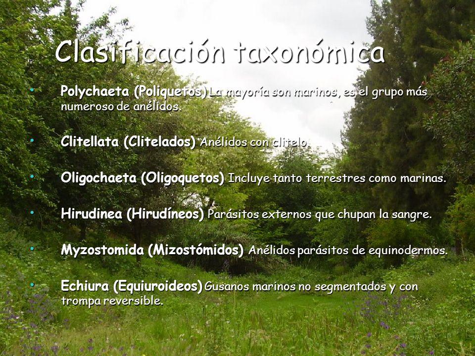 Clasificación taxonómica Clasificación taxonómica Polychaeta (Poliquetos) La mayoría son marinos, es el grupo más numeroso de anélidos. Polychaeta (Po
