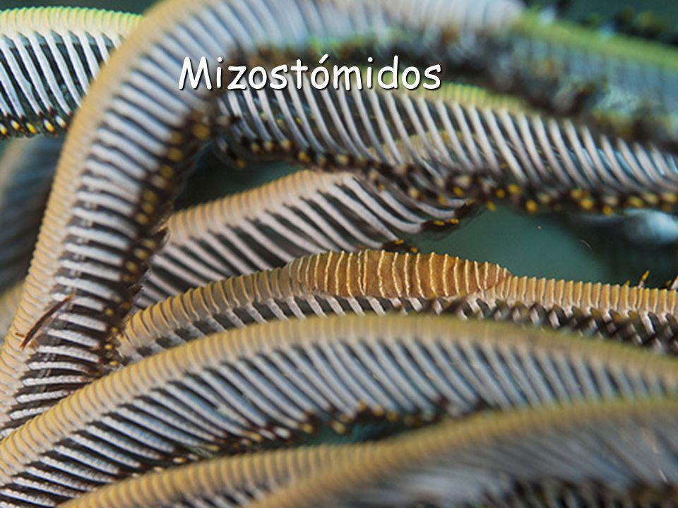 Mizostómidos Mizostómidos