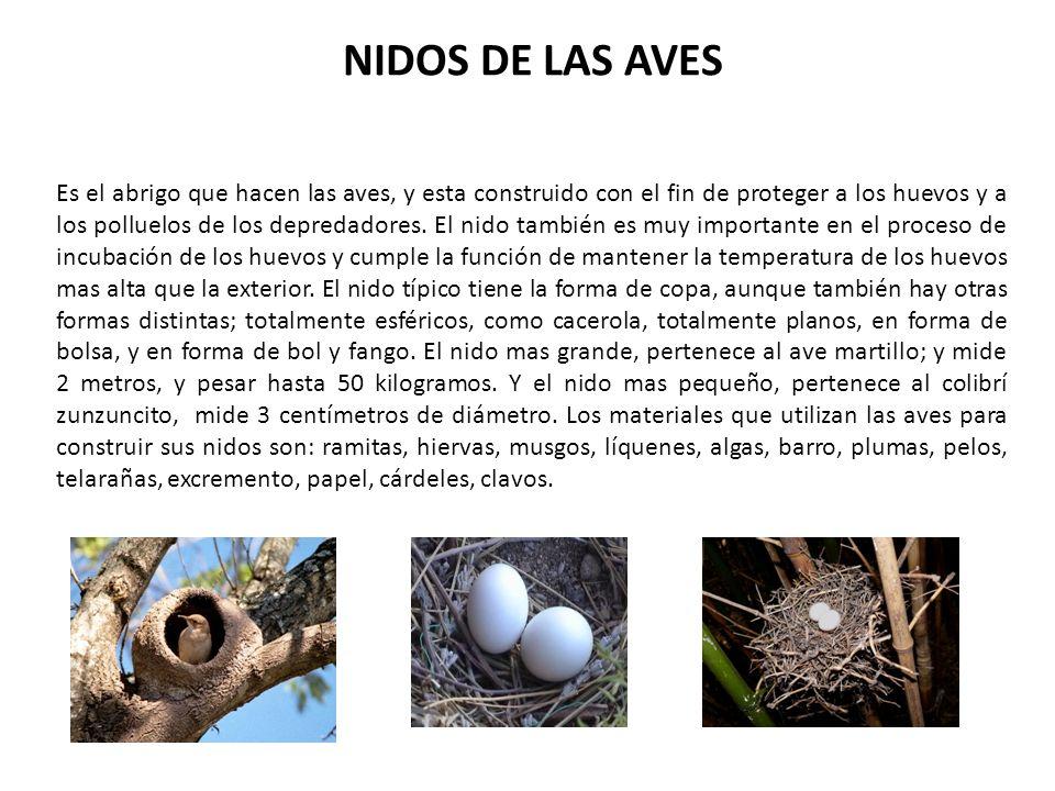 NIDOS DE LAS AVES Es el abrigo que hacen las aves, y esta construido con el fin de proteger a los huevos y a los polluelos de los depredadores. El nid