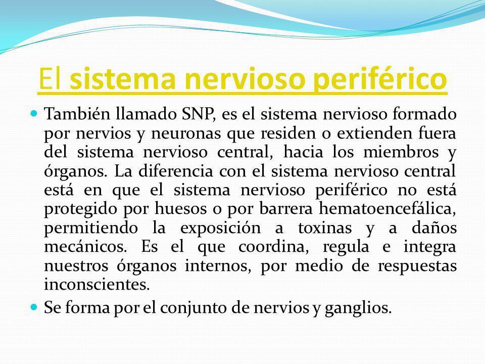 El sistema nervioso periférico También llamado SNP, es el sistema nervioso formado por nervios y neuronas que residen o extienden fuera del sistema ne