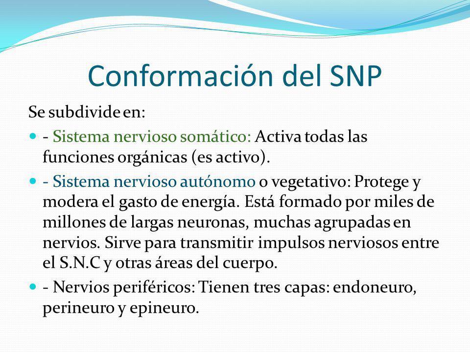Conformación del SNP Se subdivide en: - Sistema nervioso somático: Activa todas las funciones orgánicas (es activo). - Sistema nervioso autónomo o veg