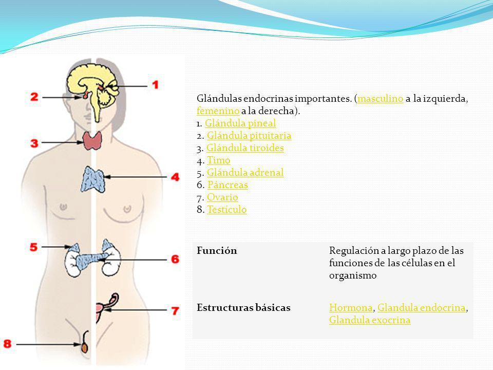 Glándulas endocrinas importantes. (masculino a la izquierda, femenino a la derecha). 1. Glándula pineal 2. Glándula pituitaria 3. Glándula tiroides 4.
