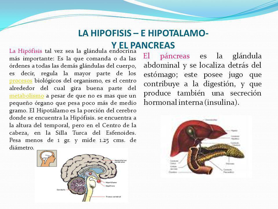 LA HIPOFISIS – E HIPOTALAMO- Y EL PANCREAS La Hipófisis tal vez sea la glándula endocrina más importante: Es la que comanda o da las órdenes a todas l