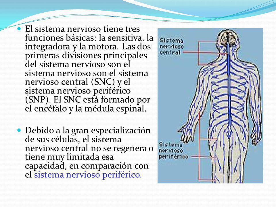 El sistema nervioso tiene tres funciones básicas: la sensitiva, la integradora y la motora. Las dos primeras divisiones principales del sistema nervio