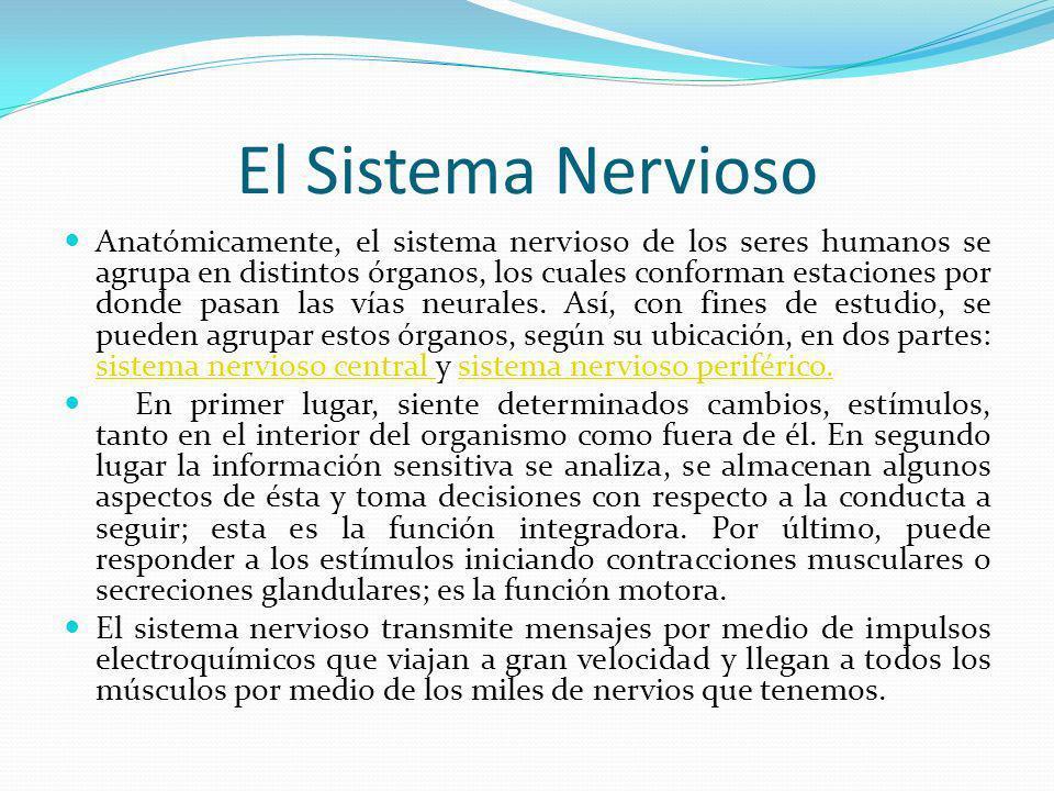 El Sistema Nervioso Anatómicamente, el sistema nervioso de los seres humanos se agrupa en distintos órganos, los cuales conforman estaciones por donde