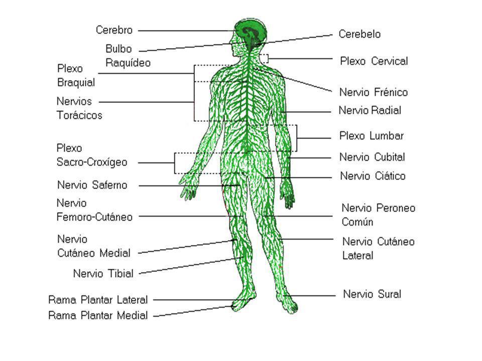El sistema nervioso central está formado por el Encéfalo y la Médula espinal, se encuentra protegido por tres membranas, las meninges.