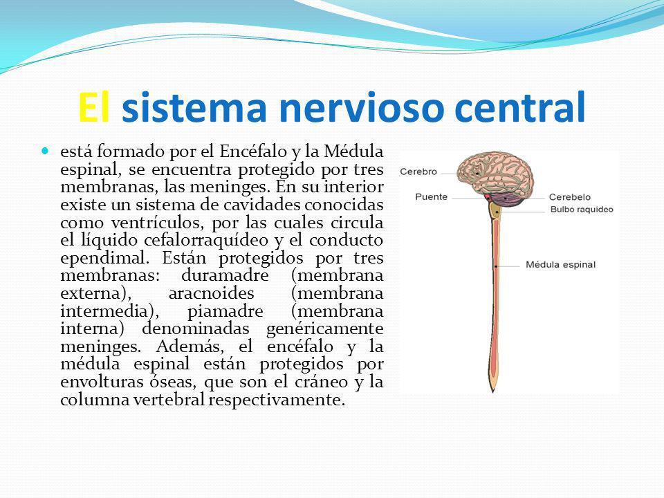 El sistema nervioso central está formado por el Encéfalo y la Médula espinal, se encuentra protegido por tres membranas, las meninges. En su interior