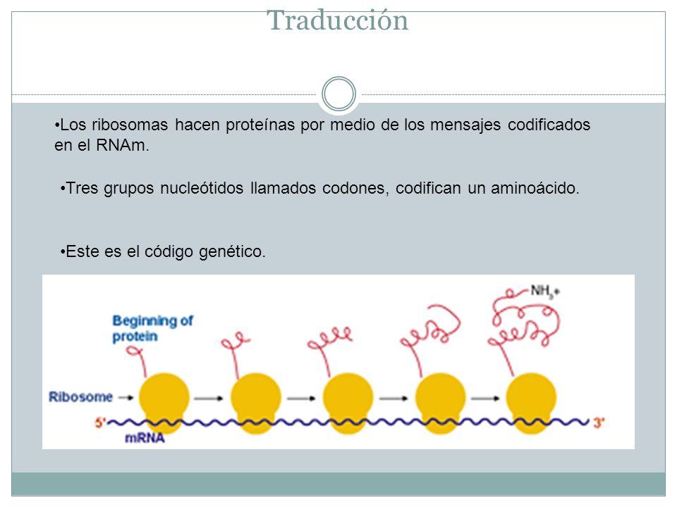 Traducción Los ribosomas hacen proteínas por medio de los mensajes codificados en el RNAm. Tres grupos nucleótidos llamados codones, codifican un amin