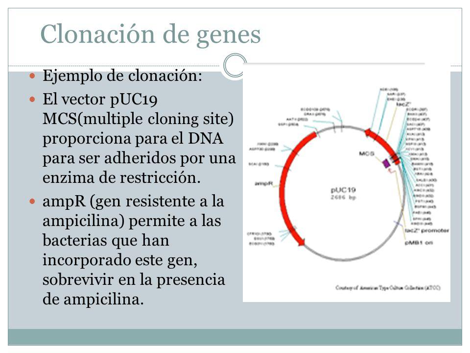 Clonación de genes Ejemplo de clonación: El vector pUC19 MCS(multiple cloning site) proporciona para el DNA para ser adheridos por una enzima de restr