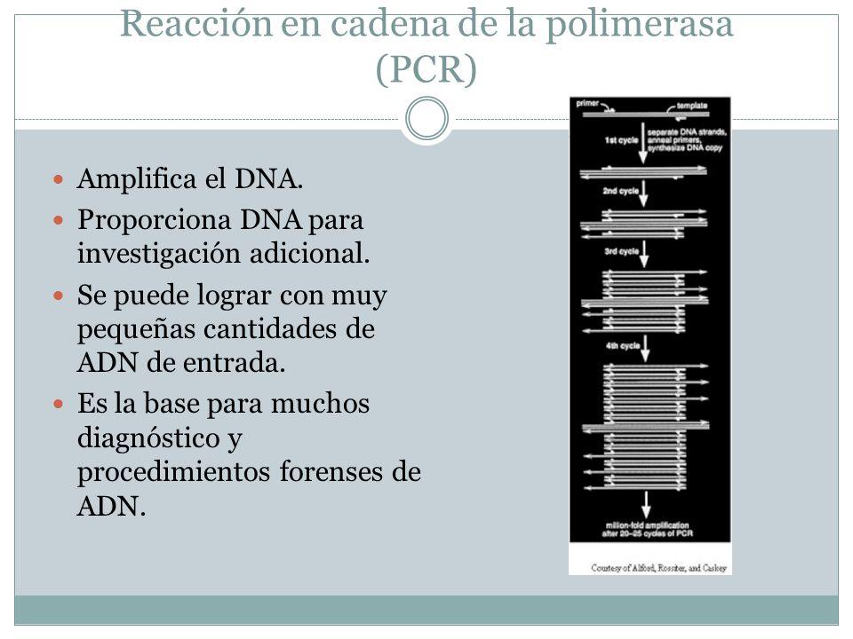 Reacción en cadena de la polimerasa (PCR) Amplifica el DNA. Proporciona DNA para investigación adicional. Se puede lograr con muy pequeñas cantidades