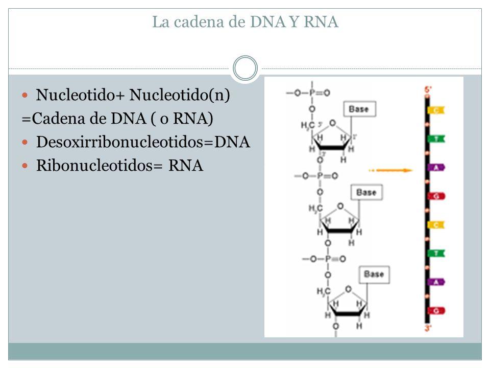 La cadena de DNA Y RNA Nucleotido+ Nucleotido(n) =Cadena de DNA ( o RNA) Desoxirribonucleotidos=DNA Ribonucleotidos= RNA