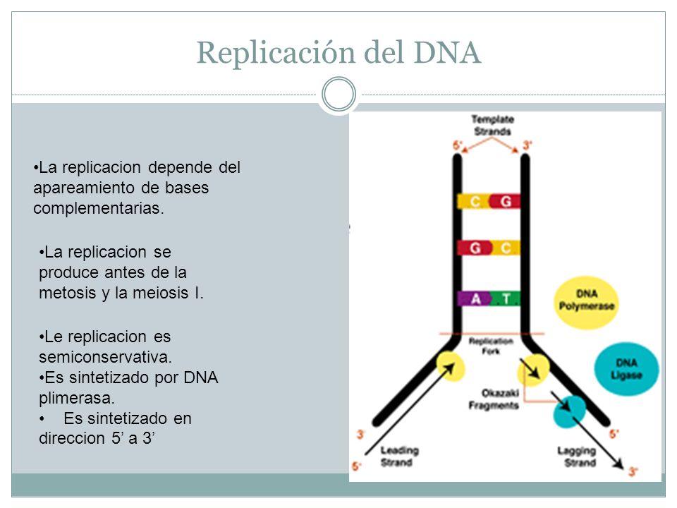 Replicación del DNA La replicacion depende del apareamiento de bases complementarias. La replicacion se produce antes de la metosis y la meiosis I. Le