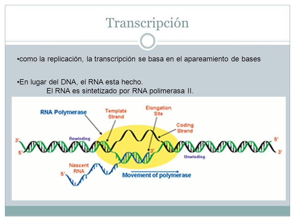 Transcripción como la replicación, la transcripción se basa en el apareamiento de bases En lugar del DNA, el RNA esta hecho. El RNA es sintetizado por