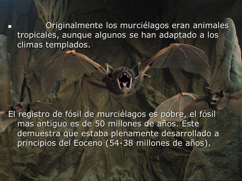Originalmente los murciélagos eran animales tropicales, aunque algunos se han adaptado a los climas templados. Originalmente los murciélagos eran anim