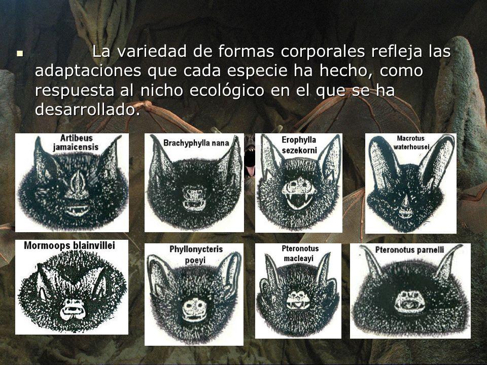 La variedad de formas corporales refleja las adaptaciones que cada especie ha hecho, como respuesta al nicho ecológico en el que se ha desarrollado. L