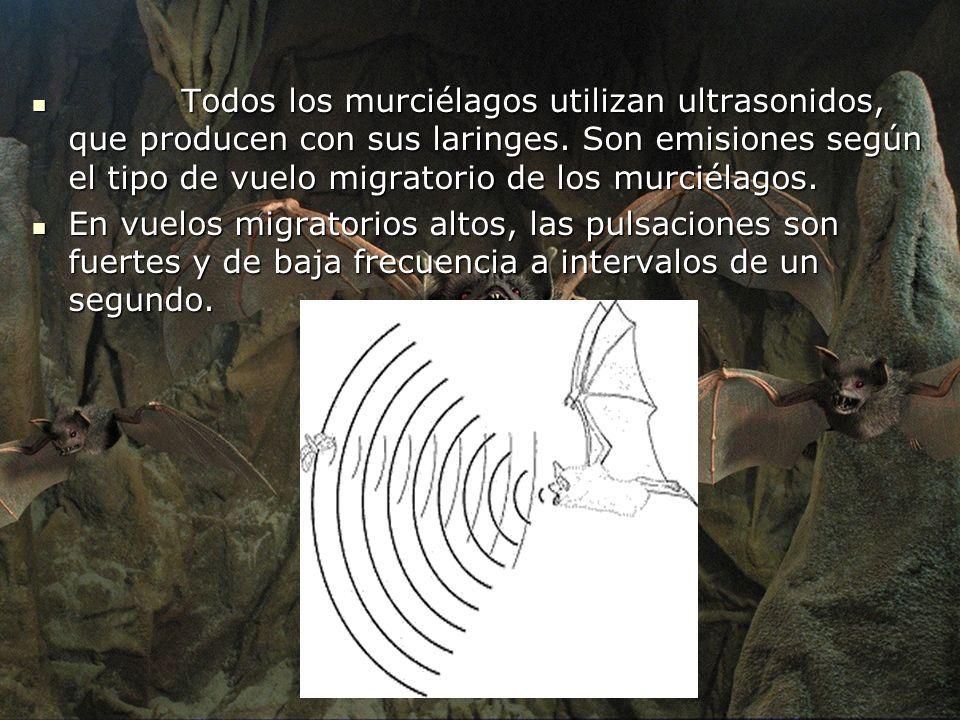 Todos los murciélagos utilizan ultrasonidos, que producen con sus laringes. Son emisiones según el tipo de vuelo migratorio de los murciélagos. Todos