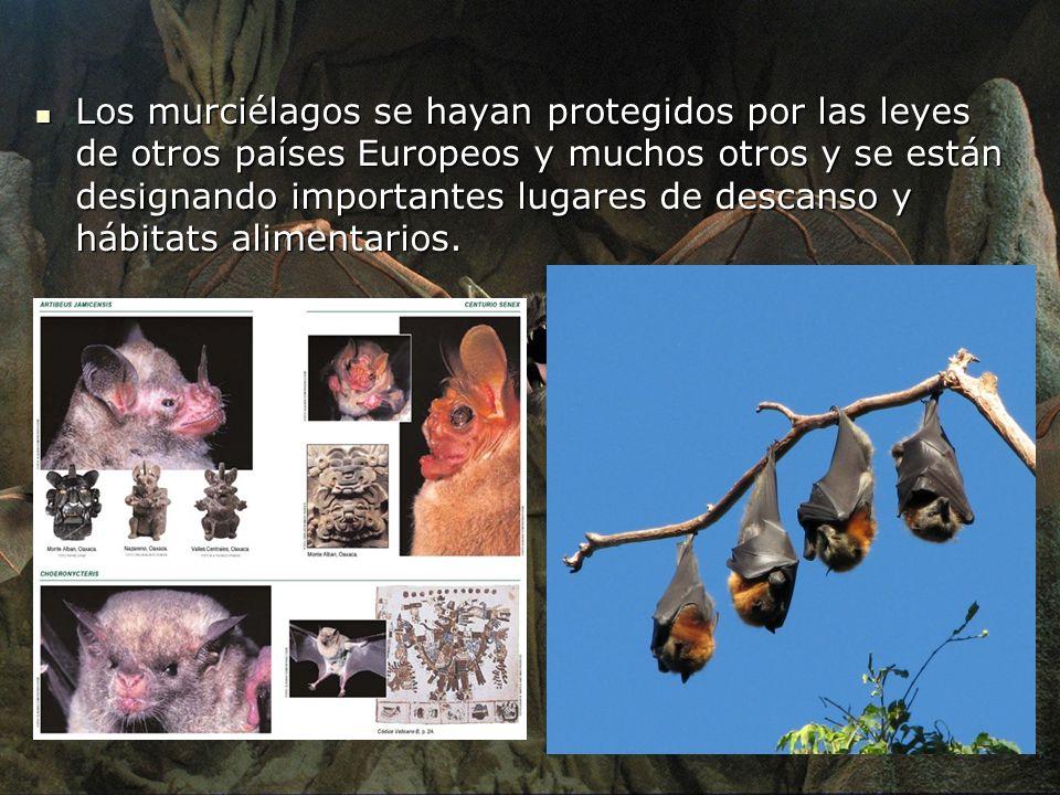 Los murciélagos se hayan protegidos por las leyes de otros países Europeos y muchos otros y se están designando importantes lugares de descanso y hábi