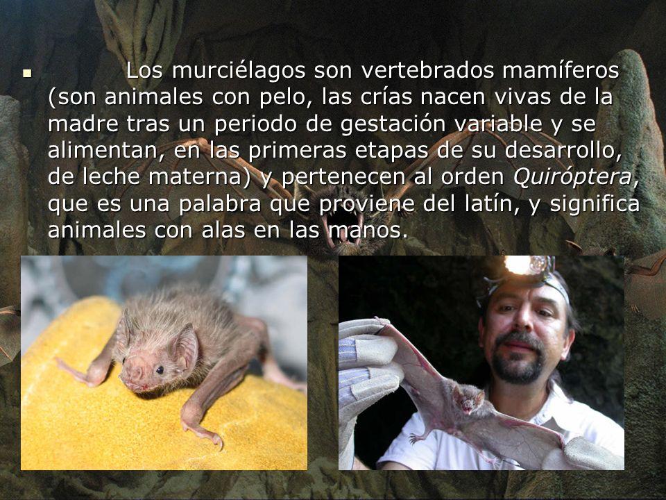 Los murciélagos son vertebrados mamíferos (son animales con pelo, las crías nacen vivas de la madre tras un periodo de gestación variable y se aliment