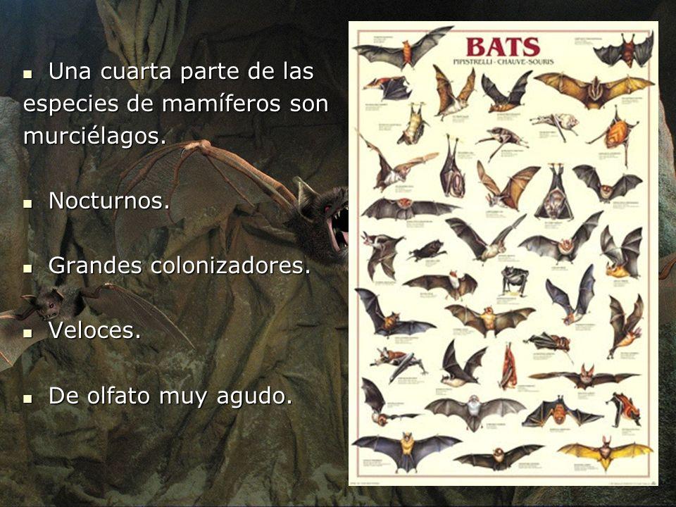 Una cuarta parte de las Una cuarta parte de las especies de mamíferos son murciélagos. Nocturnos. Nocturnos. Grandes colonizadores. Grandes colonizado