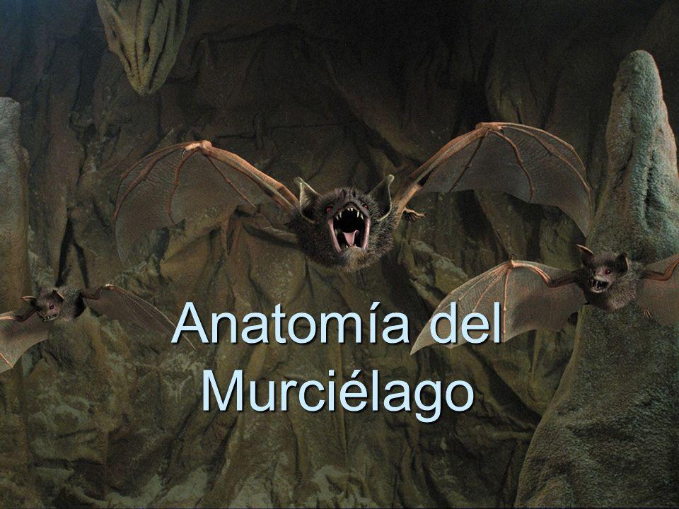 Anatomía del Murciélago