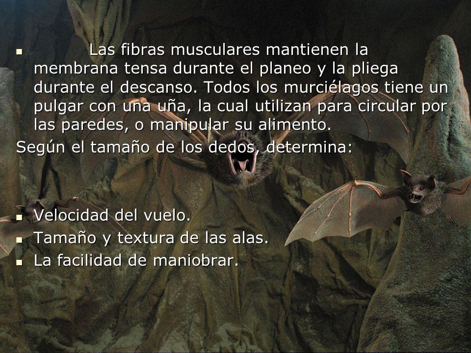 Las fibras musculares mantienen la membrana tensa durante el planeo y la pliega durante el descanso. Todos los murciélagos tiene un pulgar con una uña