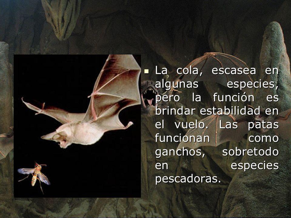 La cola, escasea en algunas especies, pero la función es brindar estabilidad en el vuelo. Las patas funcionan como ganchos, sobretodo en especies pesc