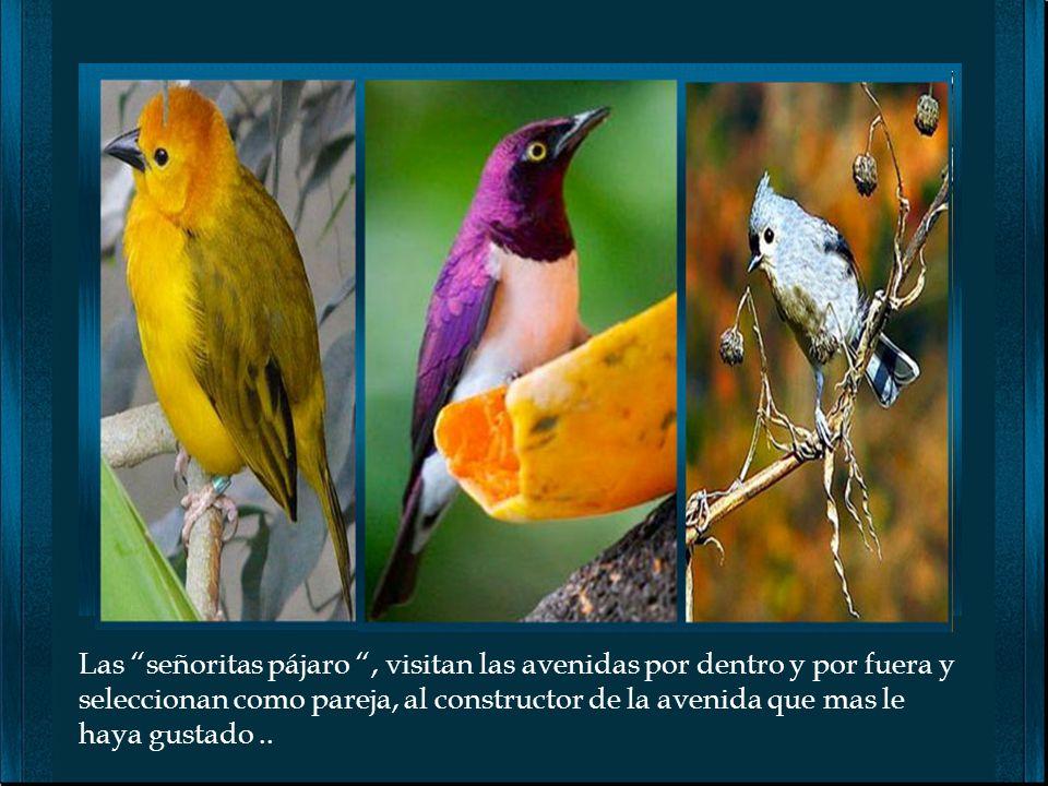 Para decorarla, emplea materiales de colores llamativos, hojas, flores, frutos, musgo, plumas de otros pájaros y hasta materiales humanos como latas y