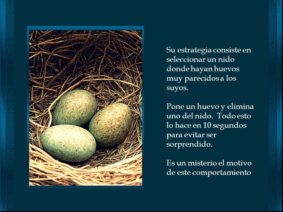 Existen pájaros muy flojos, que no les gusta hacer sus nidos y menos incubar sus huevos. Los Cuckoos utilizan el nido de otros pájaros que estén en pr