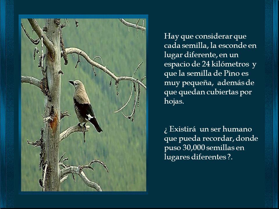 La nueva generación de científicos cree que los pájaros, pueden resolver problemas y aprender, como lo hacen los niños humanos. Al pájaro Cascanueces,